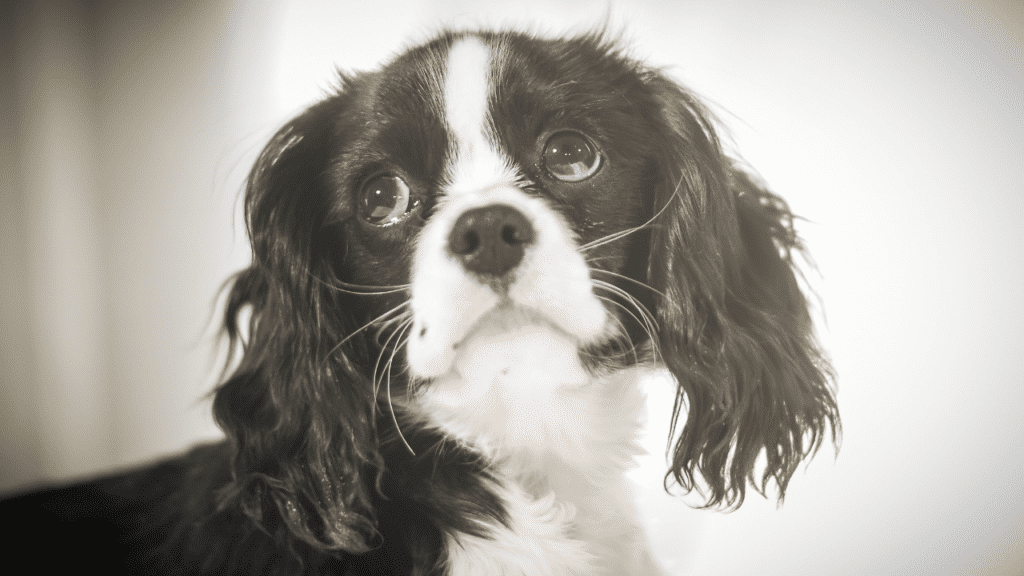 Black and white cocker spaniel puppy sadly looking up feeling lonely